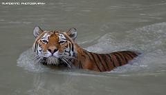 Swimming siberian tiger - Zoom Gelsenkirchen (Mandenno photography) Tags: dierenpark dierentuin dieren animal animals duitsland germany tiger tijger tigers tijgers siberian zoomgelsenkirchen zoom zoo swimming