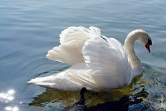 swan (welenna) Tags: switzerland swan schwan vogel bird water aare wasser river fluss
