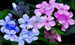 par (ojoadicto) Tags: flowers flores digitalmanipulation manipulaciondefotos blue pink nature naturaleza artisticphotography