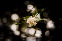 20160703-DSC_2657 (Vighnaraj Bhat) Tags: nikon d750 nikkor105mmf28gvr fullframe macro bokeh white rose bokehlicious beyondbokeh theunforgettablepictures outdoor depthoffield flower dof