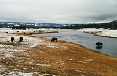 #yellowstone #buffalo #bisons (Mrs.Gataguk) Tags: buffalo yellowstone bisons