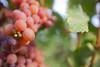 Time for wine (Notquiteahuman1) Tags: wine wineyard grapes leaf foliage macro wideanglemacro weinstadt winegrowing nature culture vinho uvas afnikkor288513545 macrodreams
