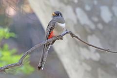 Elegant Trogon (Alan Gutsell) Tags: usa bird birds elegant trogon naturephoto eleganttrogon arizonabirds wildlifephoto usabirds alangutsell
