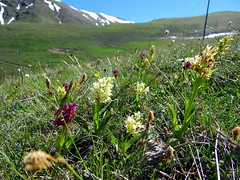Wild flowers of Campo Imperatore, Abruzzo, Italy (popinjaykev - living the Italian dream) Tags: italy mountain snow colour spring meadows alpine abruzzo mountaisn campoimperatore