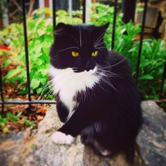 "Cats of West Philly #5. ""Mystery"". #cat #catsofwestphilly #feline #fluffy #tuxedo #tuxedocat #blackandwhite #purrfect #urbancat #naturecat #nature #gato #chat #housecat #westphilly #philadelphia #yelloweyes (artofmarabelle) Tags: blackandwhite philadelphia nature cat square feline chat pierre fluffy tuxedo gato squareformat tuxedocat mayfair housecat yelloweyes purrfect westphilly urbancat naturecat iphoneography instagramapp uploaded:by=instagram catsofwestphilly"