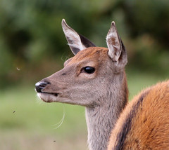 Young Red Deer (GillK2012) Tags: park uk red nature canon wildlife young deer 300mm bushy 550d