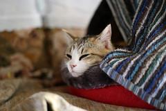 IMG_5374 Calico Japanese cat 縞三毛猫 (by ENJOY DESIGN) Tags: animal cat calico 猫 動物 ネコ japanesecat 三毛猫 猫写真 縞三毛 雌ネコ