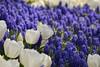 P1070028 (Güven Gül) Tags: flowers flower tulips tulip lale gh3 laleler panasonicgh3