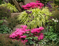 Colour in the Rockery (Dave Roberts3) Tags: flower grass rock wales garden newport azalea ornamental gwent aquelegia coth supershot citrit