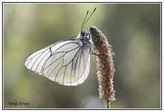 Aporia crataegi (valenmui) Tags: macro mariposas valentin courel aporia crataegi valentinmuiños