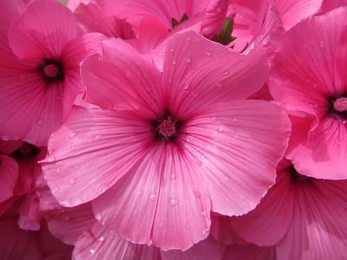 Tout de rose vêtues, Tobermory, île de Mull, Argyll and Bute, Ecosse, Grande-Bretagne, Royaume-Uni.