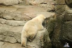 Eisbr Lili im Zoo Bremerhaven 30.04.2016 Tei 1  110 (Fruehlingsstern) Tags: polarbear lloyd lili bremerhaven zooammeer valeska eisbr seelwen canoneos750 tamron16300
