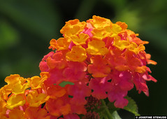 20140918_01 Yellow & pink Lantana flowers | Monaco (ratexla) Tags: life travel pink flowers vacation favorite orange plants holiday plant flower travelling nature beautiful yellow europe riviera earth monaco journey blomma traveling lantana blommor interrail semester interrailing tellus 2014 organism eurail tgluff europaeuropean tgluffning tgluffa eurailing earthporn photophotospicturepicturesimageimagesfotofotonbildbilder resaresor canonpowershotsx50hs 18september2014 ratexlasantibestrip2014