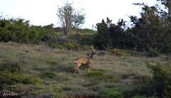 Corzo en la ladera // Roe Deer in hillside (Cazadora de Fotos) Tags: wild fauna photography natura deer animales roe ciervo salvajes iberica ladera ciervos iberico corzo