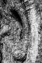 Olea europaea (Pep Ferrer) Tags: espaa familia alicante es plantae orden olivo olea magnoliopsida gmt2 oleaceae gnero lamiales reinovegetal castelldecastells 04abril oeuropaea 05mayo 06junio listapalabrasclave magnoliophytaangiospermae epocafloracin castelldecastells03793 racodesantamaira llinnaeuscarlvonlinneo
