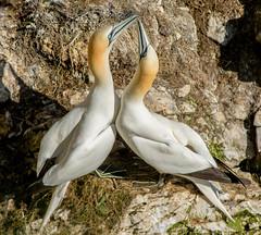 JWL0804 Gannets!... (jefflack Wildlife&Nature) Tags: nature birds countryside wildlife gulls ngc npc avian gannets seabirds gannet shorebirds wildbirds bempton coastalbirds