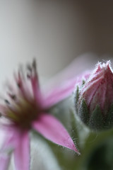 A Little Shy (Elisabeth Rose Astwood) Tags: pink flower macro emotion shy suculant macrodreams