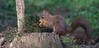 DSC08123rawcon_b (ger hadem) Tags: veluwe zwijn eekhoorn gerhadem