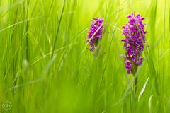 Wiesenorchidee (Dirk Hoffmann Fotografie) Tags: flower macro green nature grass blossom wiese gras orchidee blume blte violett wiesenorchidee
