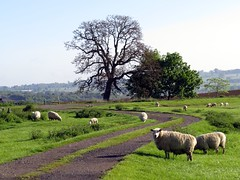 broad campden, the cotswolds (gerben more) Tags: road uk england tree animal landscape sheep meadow cotswolds