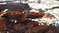 Junonia sp. (Rotten~) Tags: nature brasil butterfly natureza biology entomology biologia nymphalidae nymphalinae entomologia junoniini