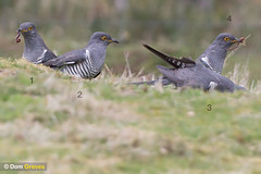 Cuckoo feast (Dom Greves) Tags: uk male bird composite photoshop spring wildlife hunting may surrey montage prey worm sequence grassland cuckoo thursleycommon behaviour cuculuscanorus