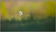 spring view III (seozzy) Tags: flower macro green nature spring view narciso narcissus