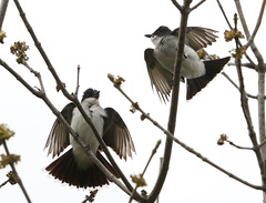 Courtship doesn't have to be pretty  -  Kingbirds (rivadock4) Tags: new york newyork ithaca flycatcher courtship kingbird