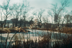 museum (amy buxton) Tags: trees winter painterly nature botanical natural stlouis goldenrod baretrees forestpark driedplants amybuxton