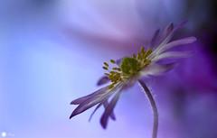 Magic symphony (Trayc99) Tags: flower floral petals purple decorative softness depthoffield delicate floralart flowerphotography