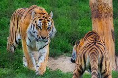 Cornered (icanhascamera) Tags: veszprem veszprm hungary zoo pentax k50 animal animals tiger tigers tigress cat cats big ichc