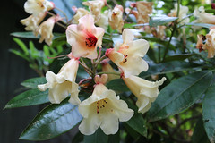 IMG_3060.JPG (robert.messinger) Tags: flowers rhodies