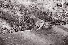 Pigeon (Ursus Bear) Tags: blackandwhite bw white black bird film monochrome animal wall analog 35mm canon eos mono blackwhite outdoor pigeon monochromatic xp2 chrome 400 650 135 ilford ef f3545 3570 ilfordxp2400super