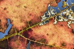 Leaf (LSydney) Tags: macro leaf decay justleaves macromondays