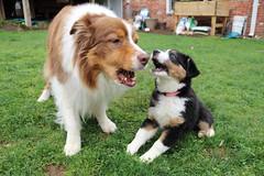 Serenading the neighbors (sturner404) Tags: dog pet garden puppy outdoors singing duet echo aussie australianshepherd jax barking blacktri