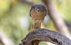 a brown goshawk (Fat Burns  (gone bush)) Tags: bird nature fauna hawk raptor australianbird barcaldine australianfauna browngoshawk accipiterfasciatus aliceriver nikond610 sigma150600mmf563dgoshsmsports