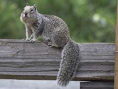 Full Profile Squirrel (dcnelson1898) Tags: california northerncalifornia outdoors photography coast nikon highway1 pacificocean fortbragg mackerricherstatepark mendocinocounty