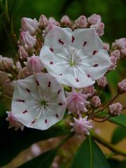 Mountain Laurel (Dendroica cerulea) Tags: white plant flower newjersey spring nj ericaceae shrub mountainlaurel matawan kalmia kalmialatifolia cheesequakestatepark fav10 middlesexcounty ericales