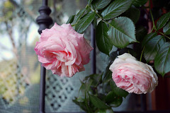 Roses at kitchen window (Rosmarie Wirz) Tags: pink roses window pierrederonsard