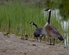 Evening Stroll (remiklitsch) Tags: babygeese mothergoose nikon pond oakville ontario remiklitsch newborn family evening nikkor
