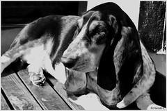 almen b&w (Fernando Casais) Tags: black white blan monocromo blanco y negro bw dog basset batata