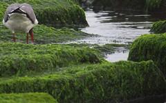 Atlantic City, NJ (lotos_leo) Tags: seaweed green bird texture water newjersey outdoor nj atlanticcity