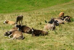 Alp Cattle (ivlys) Tags: germany allemagne deutschland bayern allgu pfronten breitenberg berg mountain almvieh alpcattle kuh cow tier animal wiese meadow gras grass nature ivlys