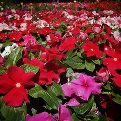 More vinca #vinca #flowers #garden #gardenersnotebook #plants #nature #outdoors #red #italy #sicly (dewelch) Tags: ifttt instagram more vinca flowers garden gardenersnotebook plants nature outdoors red italy sicly