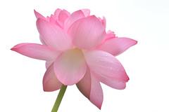 lotus 4261 (junjiaoyama) Tags: pink summer plant flower japan lotus