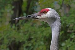Sandhill Crane - IMG_0408a1c1 (Sue Coastal Observer) Tags: sandhillcrane sacr antigonecanadensis reiflesanctuary delta bc britishcolumbia canada