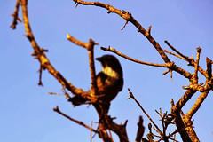 Mimicry (diegosevillaphoto) Tags: mimic tree bird california tones brach red blue sky nature monterey