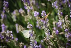 Quand un papillon rencontre un autre papillon... (Crilion43) Tags: france tamron divers animauxdivers papillon jardin centre paysage canon lavande vreaux fleurs cher objectif brouillard chenille herbe nature rflex