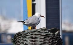 Silver Gull (careth@2012) Tags: gull silvergull australia bird beak wing feathers westernaustralia