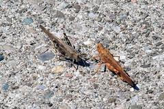 P8100001B (The Real Maverick) Tags: torontoparks highpark toronto ontario canada summer olympusstylus1 grasshopper